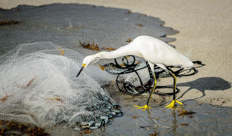 Snowy Egret fishing in castnet