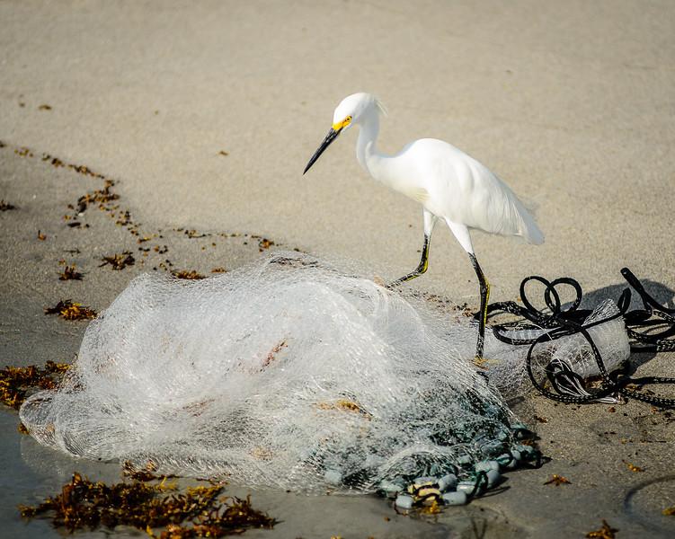 Snowy Egret at castnet