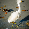 Snowy Egret with Mohawk