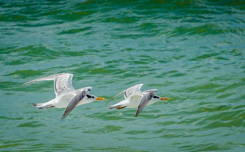 Royal Tern Duo
