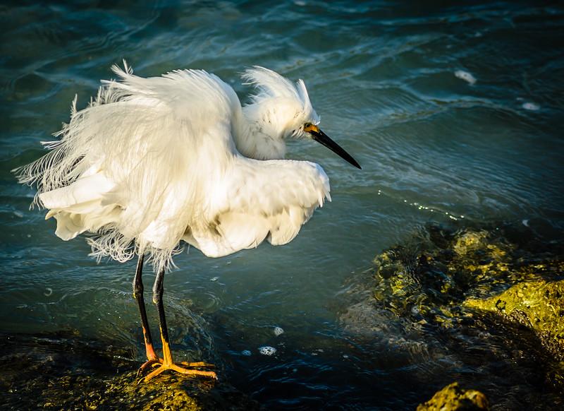 Snowy Egret all fluffed up