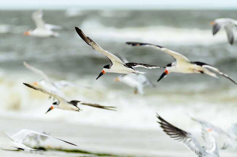 Black Skimmers and Royal Terns