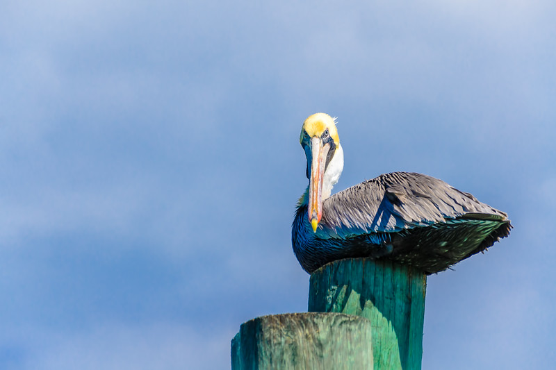 "Brown ""Perturbed"" Pelican"
