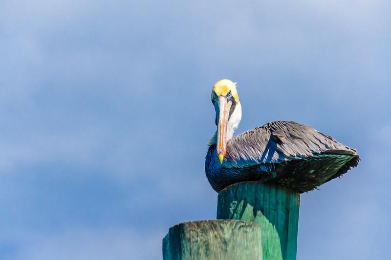 """Brown """"Perturbed"""" Pelican"""