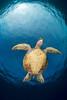 green sea turtle or honu (H), Chelonia mydas, an endangered pecies, Hawaii <br /> ( Central Pacific Ocean )