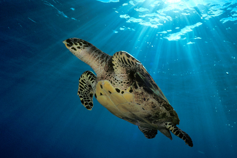 "hawksbill sea turtle or "" honu "", Eretmochelys imbricata, ( an endangered species ) in the early sun at Honokohau,  Hawaii ( Central Pacific Ocean )<br /> 2"