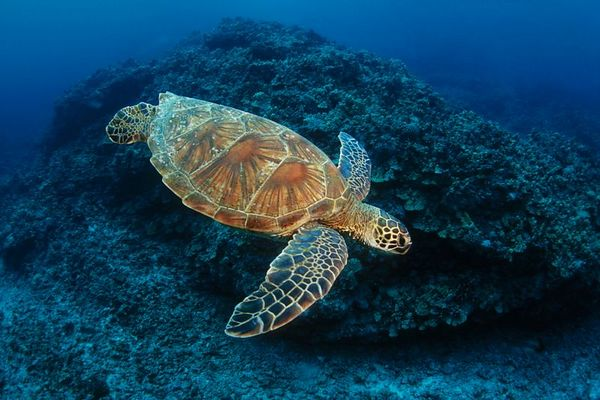 "green sea turtle or "" honu "", Chelonia mydas, <br /> ( an endangered species ) "" Kaloko "", Kona, Hawaii (Central Pacific Ocean)<br /> 1"