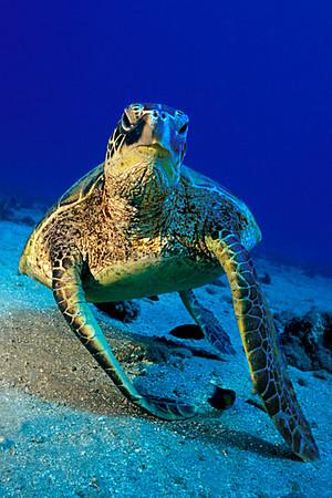 green sea turtle or honu (H), Chelonia mydas, an endangered species, Maui, Hawaii ( Central Pacific Ocean )