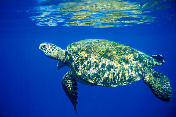 green sea turtle or honu (H), Chelonia mydas, an endangered species, Turtle Pinnacles, Honokohau, Kona, Hawaii ( Central Pacific Ocean )