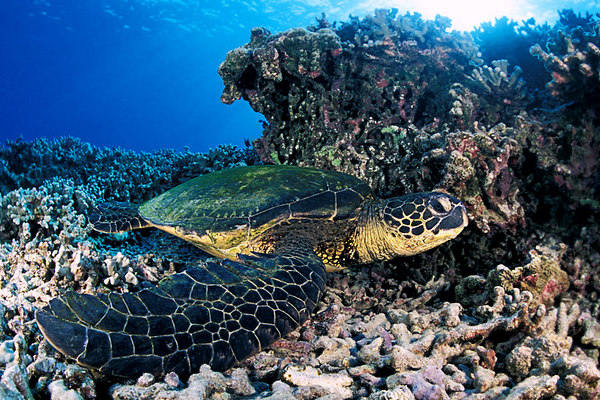 green sea turtle or  honu (H) , Chelonia mydas, <br /> ( an endangered species ) <br /> Place of Refuge, Honaunau, Hawaii <br /> ( Central Pacific Ocean )<br /> 2