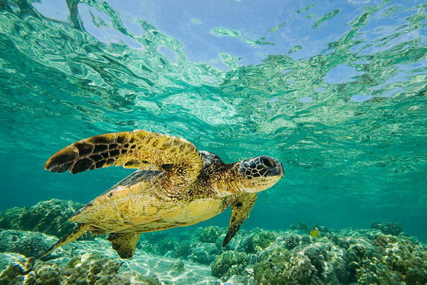 green sea turtle or honu (H), Chelonia mydas, <br /> ( an endangered species ) swims along shallow <br /> reef at Kahalu'u Beach Park, Kona, Hawaii <br /> ( Central Pacific Ocean )