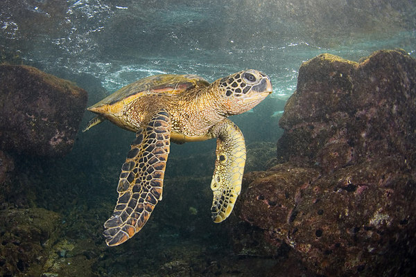 green sea turtle or  honu (H) , Chelonia mydas, an endangered species,<br /> Place of Refuge, Honaunau, Hawaii ( Central Pacific Ocean )