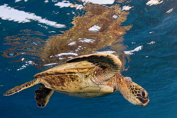 green sea turtle or  honu (H) , Chelonia mydas, ( an endangered species ) <br /> Place of Refuge, Honaunau, Hawaii ( Central Pacific Ocean )<br /> 1