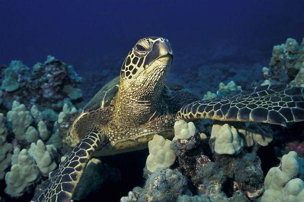 """green sea turtle or """" honu """", Chelonia mydas, <br /> ( an endangered species ) """" Turtle Pinnacles """", <br /> Honokohau, Kona, Hawaii ( Central Pacific Ocean )<br /> 1"""