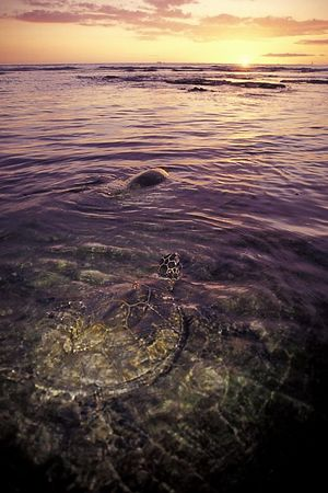 "green sea turtles or "" honu "", Chelonia mydas, <br /> ( endangered species ) forage during sunset at <br /> Honokohau, Hawaii ( Central Pacific Ocean )<br /> 1"