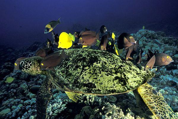 "surgeonfish clean shell or carapace of green sea turtle or "" honu "", Chelonia mydas, ( an endangered species ) <br /> Turtle Pinnacles, Honokohau, Kona, Hawaii <br /> ( Central Pacific Ocean ) DC<br /> 3"