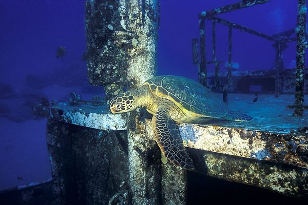 """green sea turtle or """" honu """", Chelonia mydas, <br /> ( an endangered species ) resting on the wheelhouse of the St. Anthony wreck, Maui, Hawaii <br /> ( Central Pacific Ocean )<br /> 1"""