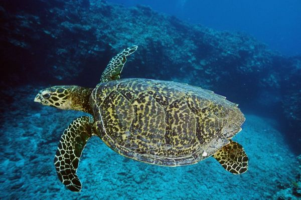 "hawksbill sea turtle or "" honu "", Eretmochelys imbricata, ( an endangered species ) its beautiful shell pattern is one of the reasons it is endangered, Hawaii ( Central Pacific Ocean )<br /> 1"
