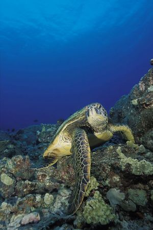 "green sea turtle or "" honu "", Chelonia mydas, <br /> ( an endangered species ) Turtle Pinnacles, Honokohau, Kona, Hawaii ( Central Pacific Ocean )<br /> 1"