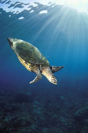 "hawksbill sea turtle or "" honu "", Eretmochelys imbricata, ( an endangered species ) at Honokohau,  Hawaii ( Central Pacific Ocean )<br /> 1"