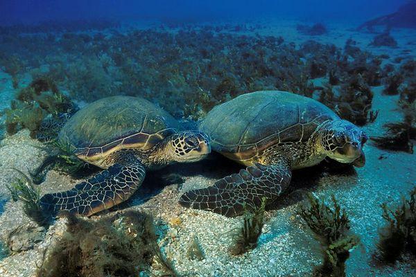 "green sea turtles or "" honu "", Chelonia mydas, <br /> ( endangered species ) Maui, Hawaii <br /> ( Central Pacific Ocean )<br /> 1"