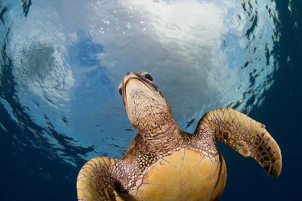 green sea turtle or honu (H), Chelonia mydas, an endangered pecies, Hawaii <br /> ( Central Pacific Ocean )