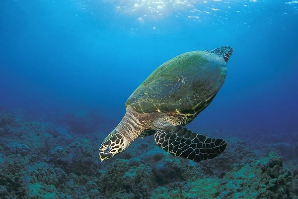 "hawksbill sea turtle or "" honu "", Eretmochelys imbricata, ( an endangered species ) at Honokohau,  Hawaii ( Central Pacific Ocean )<br /> 1"