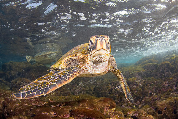 green sea turtle or  honu (H) , Chelonia mydas, forage for limu or algae in the surge zone, Place of Refuge, Honaunau, Hawaii ( Central Pacific Ocean )