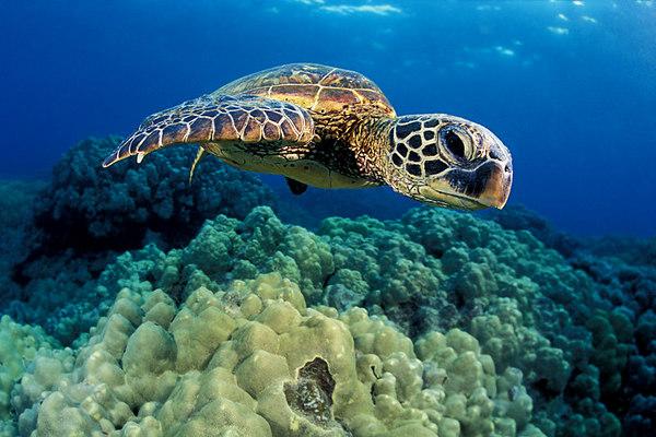 green sea turtle or  honu (H) , Chelonia mydas, <br /> ( an endangered species ) <br /> Place of Refuge, Honaunau, Hawaii <br /> ( Central Pacific Ocean )<br /> 2