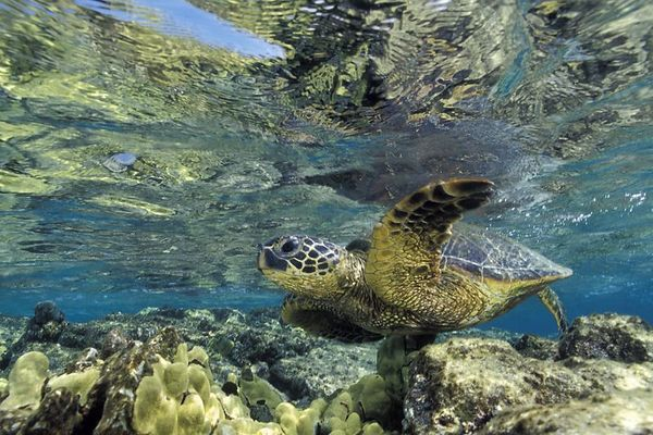 "green sea turtle or "" honu "", Chelonia mydas, <br /> ( an endangered species ) swims along shallow <br /> reef at Kahalu'u Beach Park, Kona, Hawaii <br /> ( Central Pacific Ocean )<br /> 1"