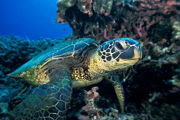 green sea turtle or  honu (H) , Chelonia mydas, an endangered species,<br /> Place of Refuge, Honaunau, Hawaii ( Central Pacific Ocean )