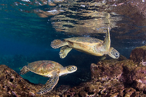 pair of green sea turtles or  honu (H) , Chelonia mydas, forage for limu or algae in the surge zone, Place of Refuge, Honaunau, Hawaii ( Central Pacific Ocean )