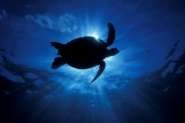 """green sea turtle or """" honu """", Chelonia mydas, <br /> ( an endangered species ) """" Two-Step """", Place of Refuge, Honaunau, Hawaii ( Central Pacific Ocean )<br /> 1"""