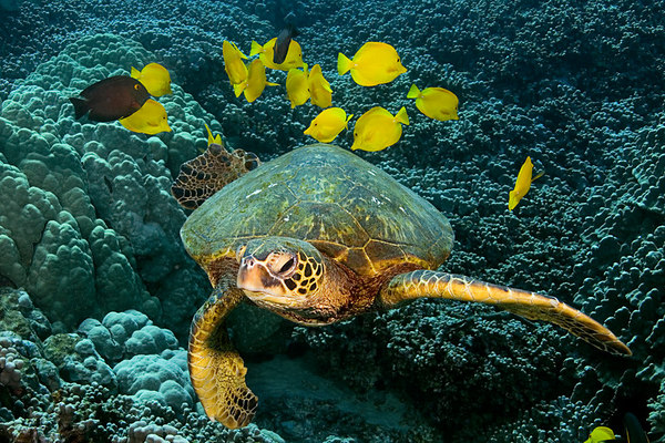 green sea turtle or  honu (H) , Chelonia mydas, ( an endangered species ) <br /> being cleaned by yellow tangs, Zebrasoma flavescens, at Place of Refuge, Honaunau, Hawaii (Central Pacific Ocean)<br /> 1