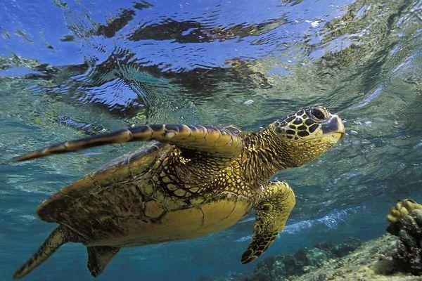"green sea turtle or "" honu "", Chelonia mydas, <br /> ( an endangered species ) swims along shallow <br /> reef at Kahalu'u Beach Park, Kona, Hawaii <br /> ( Central Pacific Ocean )<br /> 1"