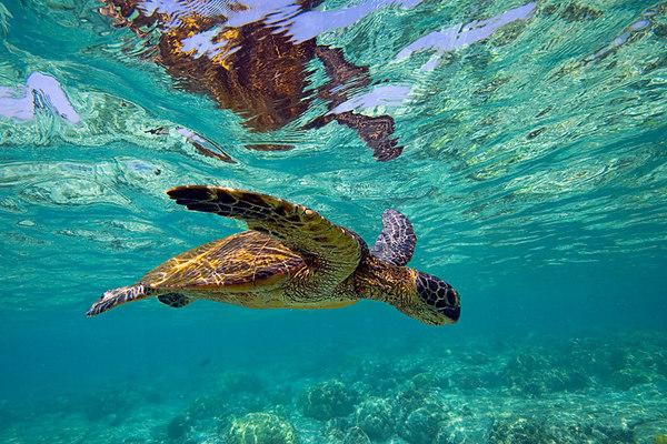 green sea turtle or honu (H), Chelonia mydas, <br /> ( an endangered species ) swims along shallow <br /> reef at Kahalu'u Beach Park, Kona, Hawaii <br /> ( Central Pacific Ocean )<br /> 1