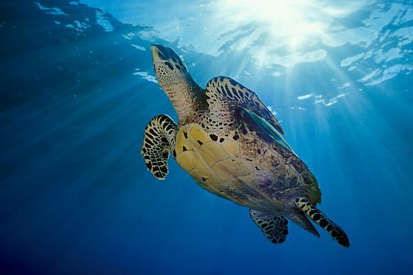 hawksbill sea turtle or honu (H), Eretmochelys imbricata, ( an endangered species ) Honokohau,  Hawaii ( Central Pacific Ocean )