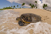 green sea turtle or honu (H), Chelonia mydas, ( an endangered species ) enters the sea at Kukio Beach, Hawaii ( Central Pacific Ocean )