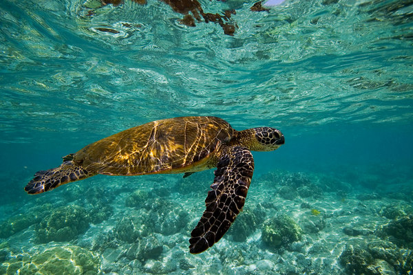 green sea turtle or honu (H), Chelonia mydas, <br /> ( an endangered species ) swims along shallow <br /> reef at Kahalu'u Beach Park, Kona, Hawaii <br /> ( Central Pacific Ocean )<br /> 1