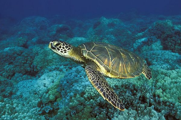 "green sea turtle or "" honu "", Chelonia mydas, <br /> ( an endangered species ) "" Two-Step "", Place of Refuge, Honaunau, Hawaii ( Central Pacific Ocean )<br /> 1"