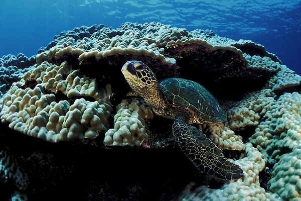 """green sea turtle or """" honu """", Chelonia mydas, <br /> ( an endangered species ) <br /> """" Two-Step """", Place of Refuge, Honaunau, Hawaii <br /> ( Central Pacific Ocean )<br /> 1"""