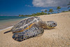 green sea turtle or honu (H), Chelonia mydas, ( an endangered species ) basks in the sun at Kukio Beach, Hawaii ( Central Pacific Ocean )