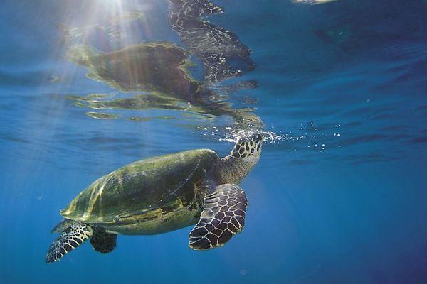 "hawksbill sea turtle or "" honu "", Eretmochelys imbricata, ( an endangered species ) surfaces to breathe at Honokohau,  Hawaii ( Central Pacific Ocean )<br /> 1"