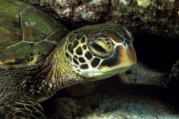 """green sea turtle or """" honu """", Chelonia mydas, <br /> ( an endangered species ) rests under a ledge,<br /> """" Pine Trees """" Kona, Hawaii <br /> ( Central Pacific Ocean )<br /> 1"""