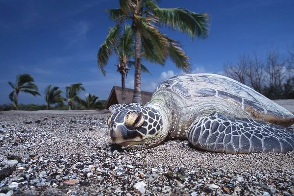"green sea turtle or "" honu "", Chelonia mydas, <br /> ( an endangered species ) basks in the sun at <br /> Honokohau, Hawaii ( Central Pacific Ocean )<br /> 1"