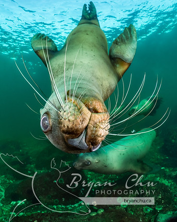 Steller Sea Lions at Hornby Island
