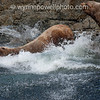 ftsea lions jumping into water sonora island british columbia