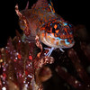 Lizard Triplefin