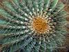 Endemic giant barrel cactus (Ferocactus diguetii), Isla Catalina, Sea of Cortez, Baja, Mexico