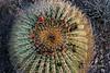 Flowers, endemic giant barrel cactus (Ferocactus diguetii) Isla Catalina, Sea of Cortez, Baja, Mexico (best larger)